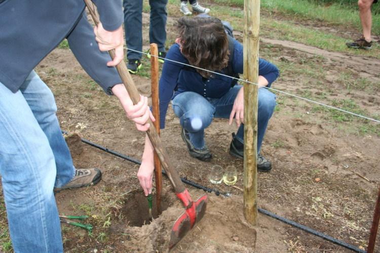 Reben-Mieter helfen beim Pflanzen der Sorte Pinotin (2012)
