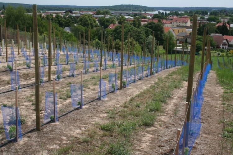 Die ersten Reben sind gepflanzt. (2012)